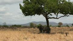 Elephants Under Tree Shade in Tanzania Stock Footage