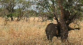 Baby Elephant Feeding on Grasses in Tanzania Footage