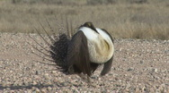 P00956 Sage Grouse on Road Stock Footage