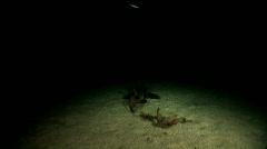 Crested Horn Shark or Port Jackson Shark at Night Stock Footage