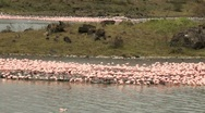 Group of Flamingos on Lake in Africa Stock Footage