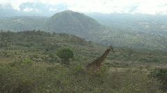 Giraffe in Arusha National Park in Tanzania Stock Footage