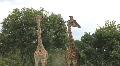 Two Giraffes Playing in Tanzania Africa HD Footage