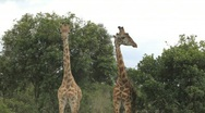 Stock Video Footage of Two Giraffes Playing in Tanzania Africa