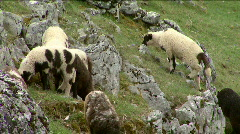Baby lambs graze on the mountain pastures Stock Footage