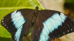 Butterfly Blue Morpho Flap Its Wings Stock Footage