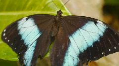 Butterfly Blue Morpho Flap Its Wings Stock Footage