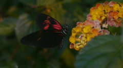 Butterfly With Black And Red Wings Sits On A Flower Stock Footage