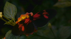 Rare Black Butterfly On A Flower Stock Footage