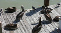 Pelicans On A Wooden Pier Footage