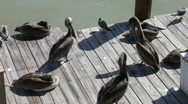 Pelicans On A Wooden Pier Stock Footage