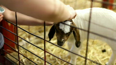 Petting baby goat in pen Stock Footage