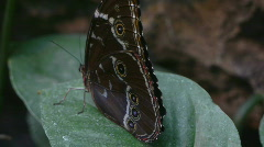Exotic Butterfly Owl Close Up Stock Footage