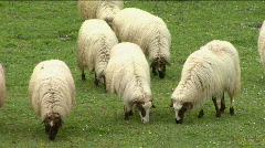 Sheep graze on the mountain pastures Stock Footage