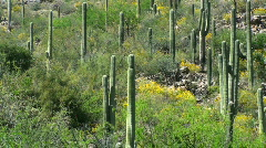 Saguaro Cactus Yellow Hills - stock footage