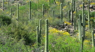 Stock Video Footage of Saguaro Cactus Yellow Hills