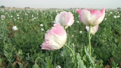 A Field of Opium Poppies Stock Footage