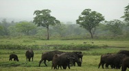Stock Video Footage of Herd of Savanna Buffaloes in Tanzania