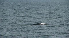 Two Gray Whales Stock Footage