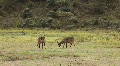 Group of Impalas in Mikumi National Park in Tanzania Footage