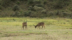 Group of Impalas in Mikumi National Park in Tanzania Stock Footage