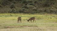 Stock Video Footage of Group of Impalas in Mikumi National Park in Tanzania