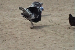 Turkey-cock Stock Footage
