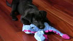 Dog with toy - stock footage
