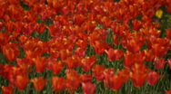Red tulip garden Stock Footage