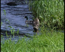 Mallard Drake and Duck Stock Footage