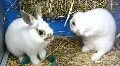 Funny rabbits Footage