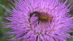 Beetles On Thistle Stock Footage