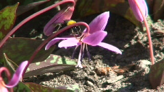 Bumble-bee on Erythronium dens-canis flower (720p) Stock Footage