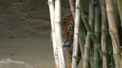 Sumatran Tiger 2 Stock Footage