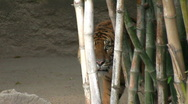 Stock Video Footage of Sumatran Tiger 2