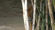 Sumatran Tiger 2 Stock Footage