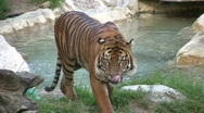Stock Video Footage of Sumatran Tiger
