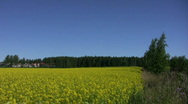 Field of rapeseed plants 5 (720p) Stock Footage