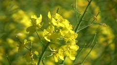 Rapeseed plants close-up (720p) Stock Footage
