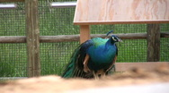 Peacock 2 Stock Footage
