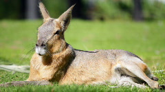 Patagonian Hare Stock Footage