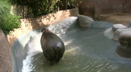 Hippopotamus In Pool 2 Stock Footage