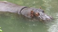 Hippopotamus In Pool Stock Footage