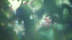 New spring nandina leaves Stock Footage