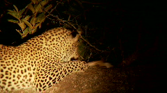 Leopard Playing Stock Footage