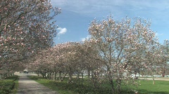 Blossoming Magnolia Trees Stock Footage