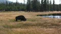 Grazing bison near Firehole River Stock Footage