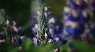 Stock Video Footage of blue flowers 4