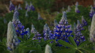 Stock Video Footage of blue flowers 2