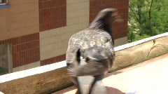 Hungry pigeons Stock Footage